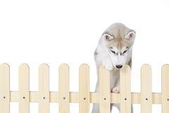 Syberyjskiego husky inside częstokół odizolowywający na białym tle obraz royalty free
