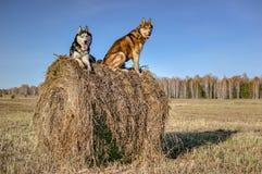 Syberyjskiego husky obsiadanie na a Zdjęcia Royalty Free