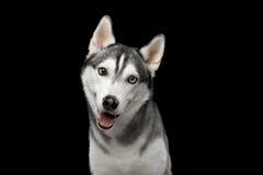 Syberyjskiego husky pies na Czarnym tle Zdjęcie Royalty Free