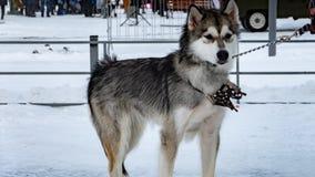 Syberyjskiego husky pies, sanie pies, zdjęcia stock