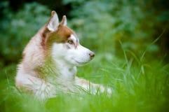 Syberyjskiego husky pies syberyjski Obraz Stock