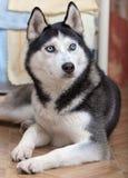 Syberyjskiego husky portret Zdjęcie Stock