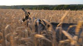 Syberyjskiego husky psa bieg post przez wysokich spikelets w łące jej żeński właściciel przy zmierzchem Potomstwa domowi zbiory wideo