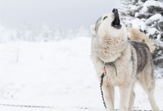 Syberyjskiego husky psy w śniegu Obraz Stock