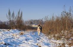 Syberyjskiego husky stojaki fotografia stock