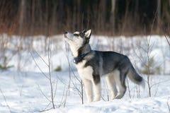 Syberyjskiego husky szczeniak Fotografia Royalty Free