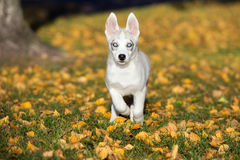 Syberyjskiego husky szczeniak biega outdoors Obraz Royalty Free