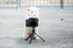 Syberyjskiego husky szczeniak bierze fotografię Obrazy Stock