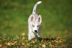 Syberyjskiego husky szczeniak chodzi outdoors Fotografia Royalty Free