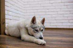 Syberyjskiego husky szczeniak kłama na podłoga w domu styl życia z psem fotografia stock