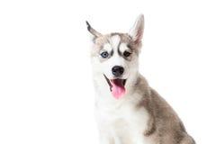 Syberyjskiego husky szczeniak odizolowywający na białym tle Fotografia Stock