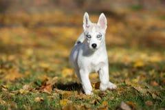 Syberyjskiego husky szczeniak outdoors Zdjęcia Stock