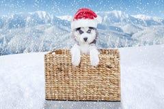 Syberyjskiego husky szczeniak przy Bożenarodzeniowym czasem Zdjęcie Royalty Free