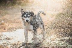 Syberyjskiego husky szczeniak trząść wodę z swój żakieta Zdjęcie Stock
