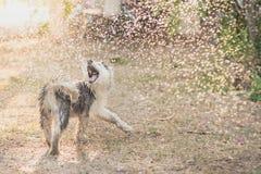 Syberyjskiego husky szczeniak trząść wodę z swój żakieta zdjęcia royalty free