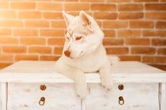 Syberyjskiego husky szczeniak w domu bawić się i siedzi styl życia z psim racą dla teksta i projekta Obraz Stock