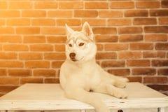 Syberyjskiego husky szczeniak w domu bawić się i siedzi styl życia z psim racą dla teksta i projekta Zdjęcia Stock