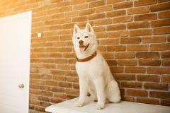 Syberyjskiego husky szczeniak w domu bawić się i siedzi styl życia z psim racą dla teksta i projekta Zdjęcia Royalty Free