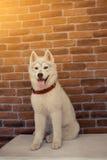 Syberyjskiego husky szczeniak w domu bawić się i siedzi styl życia z psim racą dla teksta i projekta Fotografia Royalty Free