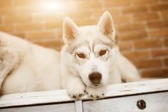 Syberyjskiego husky szczeniak w domu bawić się i siedzi styl życia z psim racą dla teksta i projekta Obrazy Stock