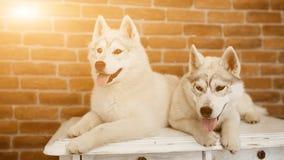 Syberyjskiego husky szczeniak w domu bawić się i siedzi styl życia z psim racą dla teksta i projekta Zdjęcie Stock