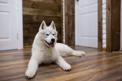 Syberyjskiego husky szczeniak w domu styl życia z psem Zdjęcie Stock