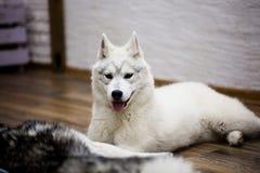 Syberyjskiego husky szczeniak w domu styl życia z psem Zdjęcia Royalty Free