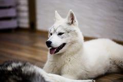 Syberyjskiego husky szczeniak w domu styl życia z psem Zdjęcia Stock