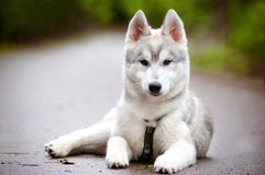 Syberyjskiego husky szczeniak w nicielnicie Zdjęcie Royalty Free
