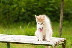 Syberyjskiego husky szczeniak w parku Obraz Stock