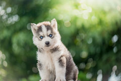 Syberyjskiego husky szczeniak z bokeh światła słonecznego tłem Zdjęcia Stock