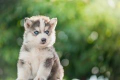Syberyjskiego husky szczeniak z bokeh światła słonecznego tłem Obraz Stock