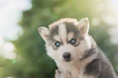 Syberyjskiego husky szczeniak z bokeh światła słonecznego tłem Obraz Royalty Free