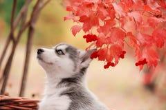 Syberyjskiego husky szczeniak z różnymi oczami Obrazy Royalty Free
