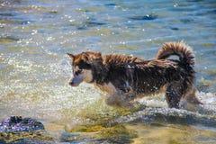 Syberyjskiego husky szczeniaka dopłynięcie na brzeg chełbotania dennej wodzie Obraz Stock