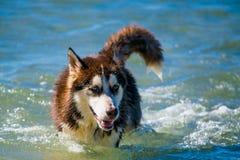 Syberyjskiego husky szczeniaka dopłynięcie na brzeg chełbotania dennej wodzie Obrazy Royalty Free