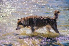 Syberyjskiego husky szczeniaka dopłynięcie na brzeg chełbotania dennej wodzie Zdjęcie Royalty Free