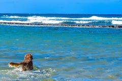 Syberyjskiego husky szczeniaka dopłynięcie na brzeg chełbotania dennej wodzie Zdjęcie Stock