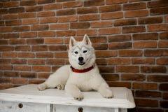Syberyjskiego husky szczeniaka obsiadanie na meble styl życia z psem zdjęcia royalty free
