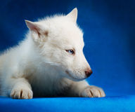 Syberyjskiego husky szczeniaka pracowniany krótkopęd fotografia stock