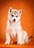 Syberyjskiego husky szczeniaka pracowniany krótkopęd fotografia royalty free