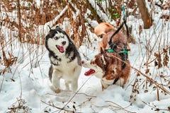 Syberyjskiego husky zabawa bawić się wewnątrz Obraz Stock