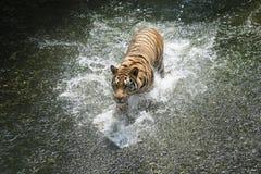 Syberyjskiego tygrysa bieg w wodzie zdjęcie stock
