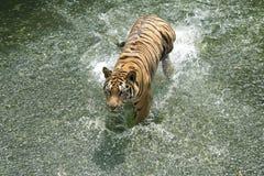 Syberyjskiego tygrysa bieg w wodzie zdjęcie royalty free