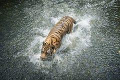 Syberyjskiego tygrysa bieg w wodzie zdjęcia royalty free