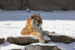 Syberyjskiego tygrysa drzemki czas Zdjęcie Royalty Free