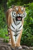 Syberyjskiego tygrysa Panthera Tigris altaica Zdjęcie Royalty Free