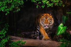 Syberyjskiego tygrysa Panthera Tigris Tigris obrazy royalty free