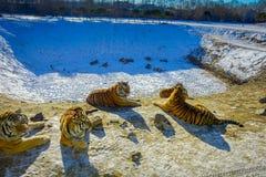 Syberyjskiego tygrysa park w Harbin, Chiny Zdjęcia Stock