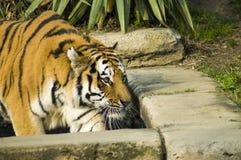Syberyjskiego tygrysa polowanie Zdjęcie Stock